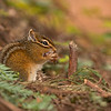 least chipmunk crescent city california