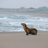 california sea lion moss landing california