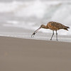long-billed curlew moss landing california