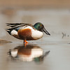 northern shoveler colusa california