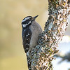 downy woodpecker victoria bc