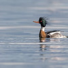 red-breasted merganser vancouver island