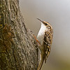 brown creeper victoria bc