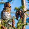 northern pygmy-owl vancouver island