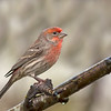 house finch port alberni
