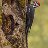 pileated woodpecker victoria bc