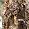 great horned owl vancouver island