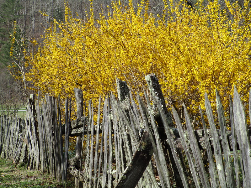 I took this picture for my dad.  He likes forsythias.  And I am like 91% certain these are forsythias.  I am 100% certain that is an old-ass fence.  At an old homestead in the Smokies.
