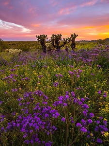 Sunset over a field of Scorpionweed, Phoenix Sonoran Preserve.