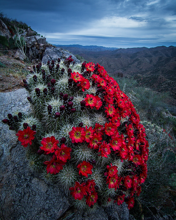 Blooming Claret Cup, Hassayampa River Canyon Wilderness