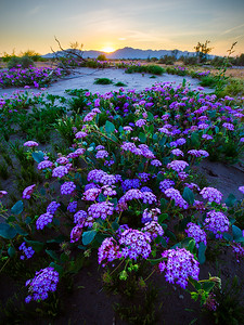 Sand Verbena in the Gila River bed, near the town of Maricopa. Sunset.