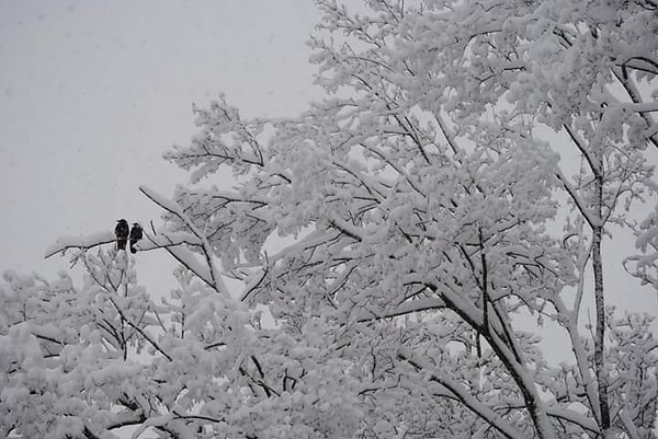 . This photo by Jenn Murphy shows some birds taking a break on snow-covered trees in Canastota on Friday, March 2, 2018.