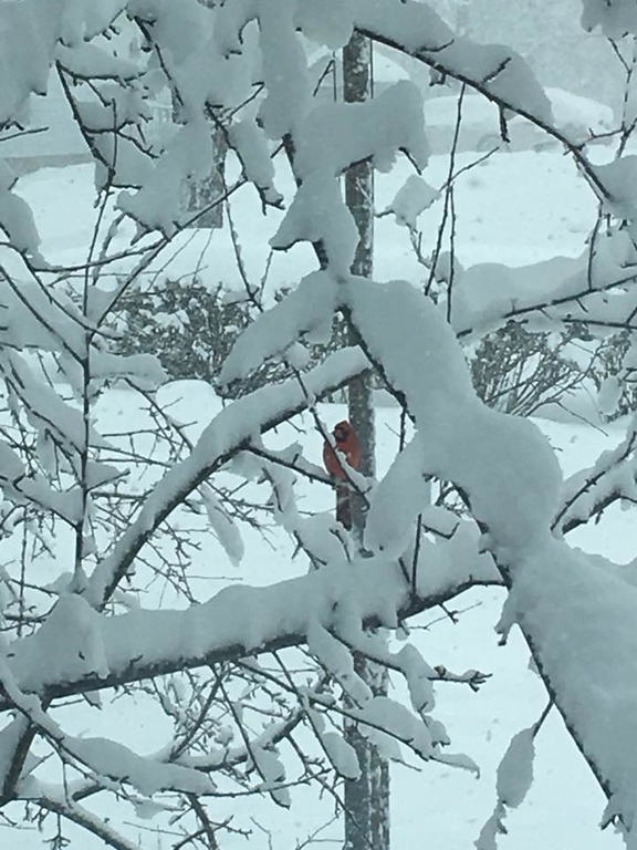 . This photo by Robyn Whitcomb Barbano shows a cardinal hiding amongst the branches on Elizabeth Street in Oneida on Friday, March 2, 2018.