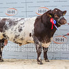 Beef Shorthorn lot 115 Reserve Male Champion