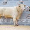 Whitebred Shorthorn Champion lot 1 sold for 5000 gns