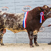 Beef Shorthorn Lot 107 Overall Champion sold for 4000 gns