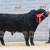 Galloway male champion sold for 2000 gns