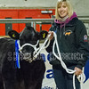 Overall champion Limousin x heifer JW Smith-Jackson, Hightown and Reserve Champion Limousin x heifer - G Sedgewick, Ricknall Grange
