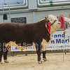 Overall Champion Hereford Class winner, Auckvale Newman 1596N who then sold for 2600gns