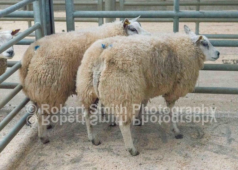 Champion Hoggs weight 41 kgs sold for £185 per head from RN Scott West Mocklethwaite Wigton purchased by butchers RJ Harrison and Sons King Street Wigton