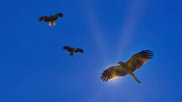 Black Kites Circling Under the Sun. 16:9 crop.