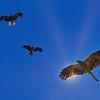 Black Kites Circling Under the Sun. 16:9 crop.