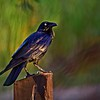 Australian Raven. Crop 2.