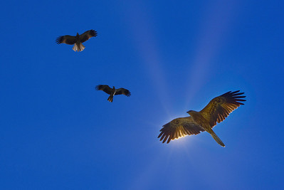 Black Kites Circling Under the Sun.