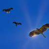 Black Kites Circling Under the Sun.