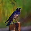 Australian Raven. Crop 3.