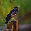 Australian Raven. Crop 1.