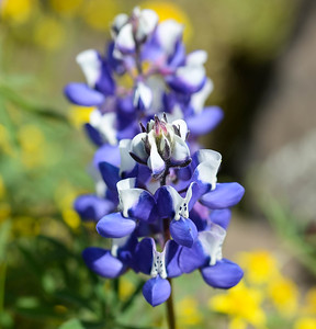 Lupin wildflowers at the North Table Mountain Ecological Reserve in Oroville on Thursday. (Matt Bates -- Enterprise-Record)