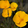 California poppies at the North Table Mountain Ecological Reserve in Oroville on Thursday. (Matt Bates -- Enterprise-Record)