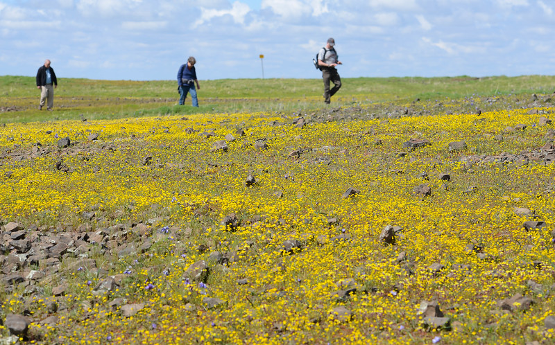 Wildflowers create a yellow and purple carpet at the North Table Mountain Ecological Reserve in Oroville on Thursday. (Matt Bates -- Enterprise-Record)