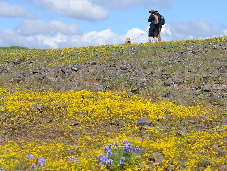 Wildflowers at the North Table Mountain Ecological Reserve in Oroville on Thursday, March 21. (Matt Bates -- Enterprise-Record)
