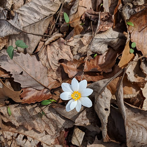 Blood root photo by Eugene Donev