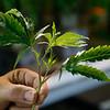 Marijuana Boom Oklahoma