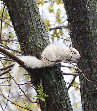 KEVIN HARVISON |<br /> This white squirrel was pictured in Haileyville playing in town near the school.