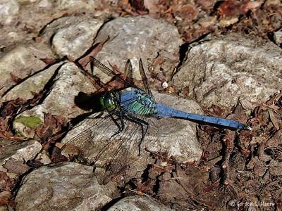 Dragonfly (Blue Dasher?)