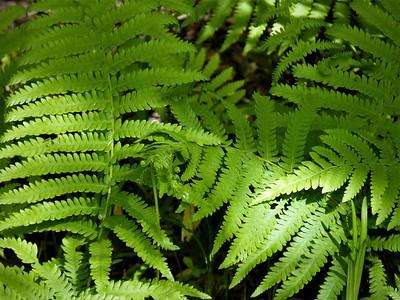 southern wood ferns