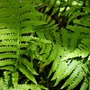 southern wood ferns