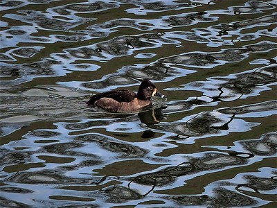 ring-necked duck (female)