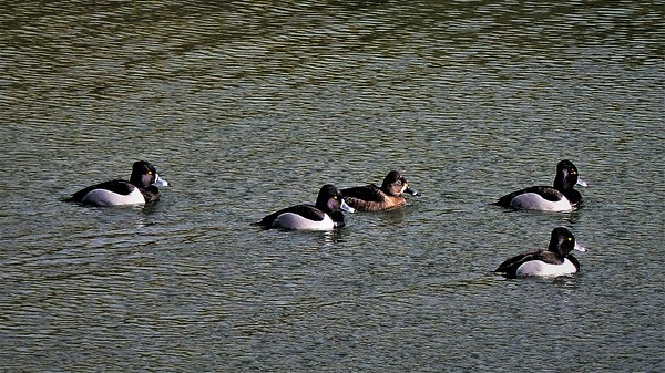 ring-necked ducks (four males, one female)