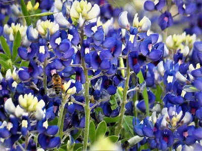 bee and bluebonnets