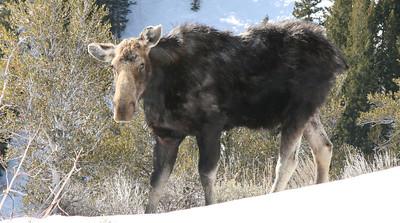 Punk moose