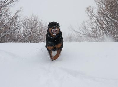 Happy Rottweiler