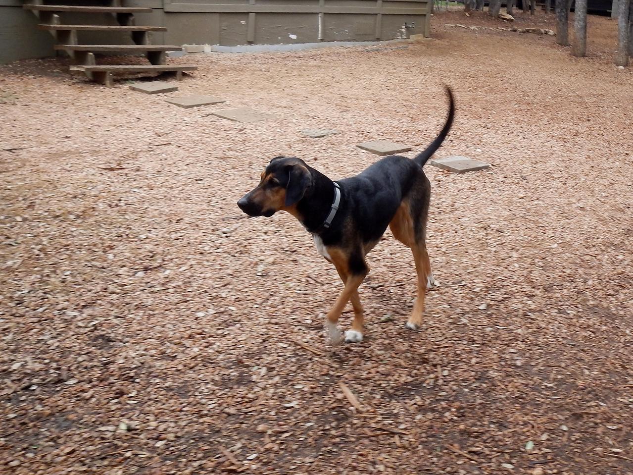 Cleo prancing around the yard
