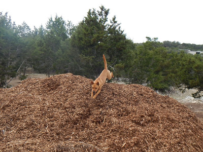 Ginger H  flying over the mulch pile