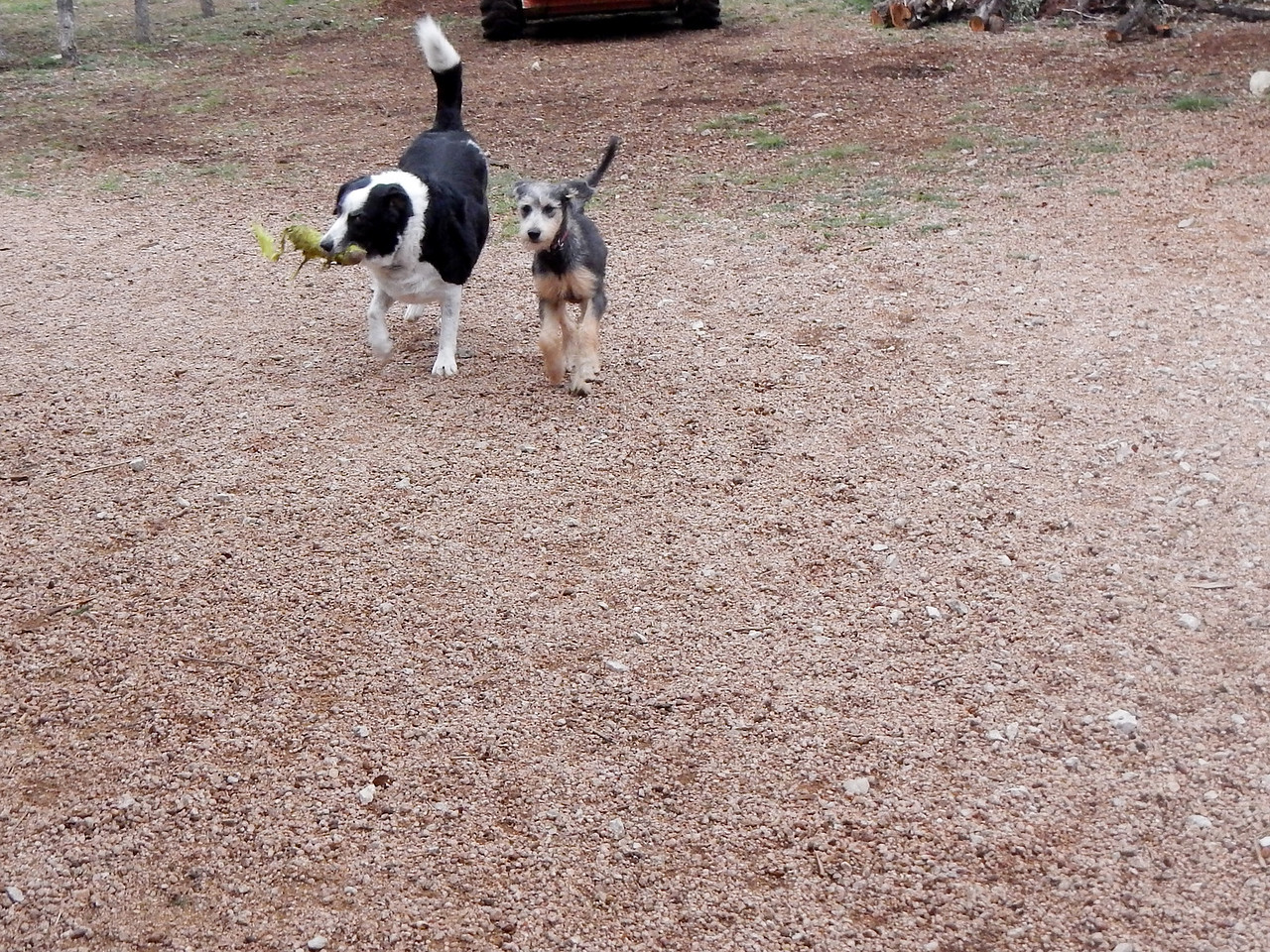Chester and Linus playing with the ball