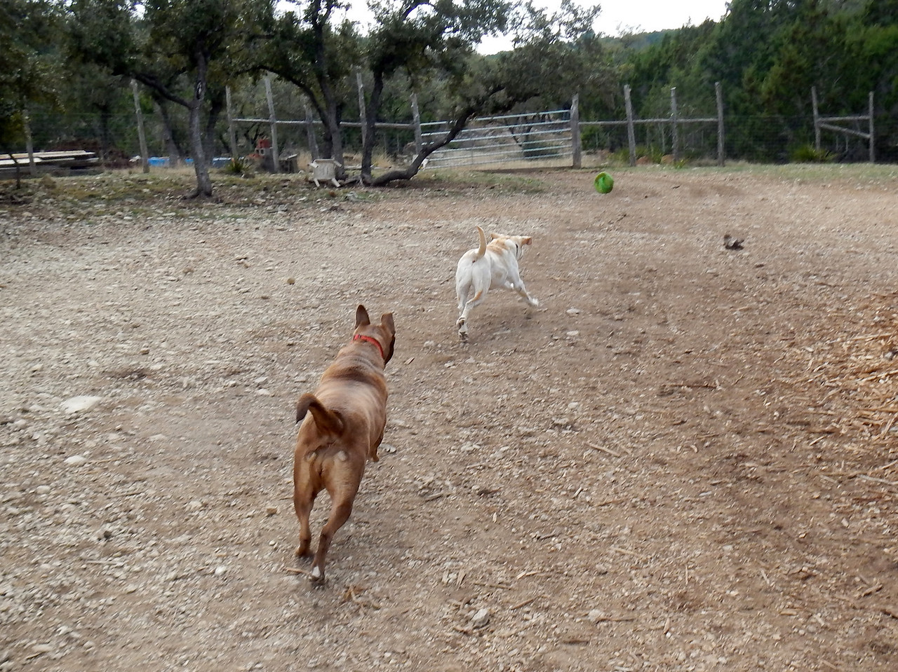 Charlie B  and Jagger chasing down the ball